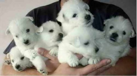 CUTE AND LOVELY WEST HIGHLAND TERRIER PUPPIES FOR ADOPTION