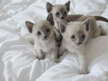 3 Beautiful Pedigree Tonkinese Kittens For adoption