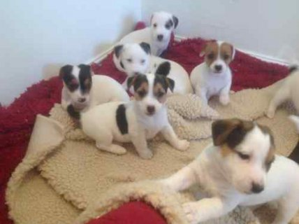Ready Now Jack Russel Puppies, Male & Female, 0-8 weeks,