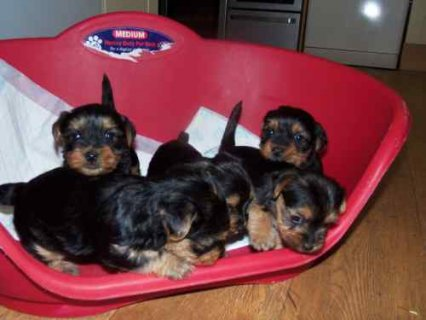 Cuties Pedigree tiny Yorkie Puppies for adoption