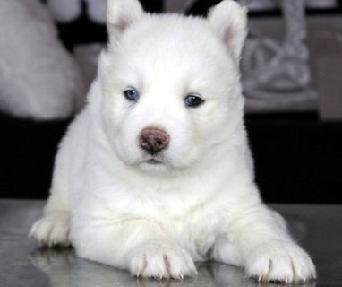 WIGHT SIBERIAN HUSKY PUPPY FOR NEW RE-HOMING