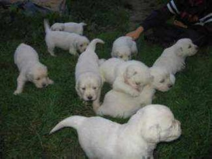 Excellent temperament Golden retriever puppies for adoption