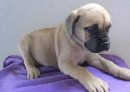 2 AKC Pups Pug Puppies
