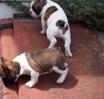 Fantastic french bulldog Puppies Available