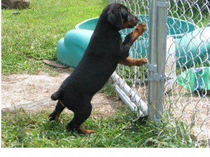 Sweat And Good Looking Doberman Pinscher Puppies For Sale