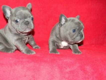 صور Blue French Bulldog puppies	 1