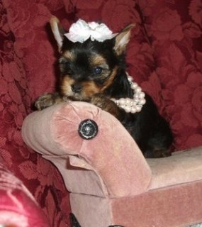 صور Adorable tiny teacup yorkies available	 1
