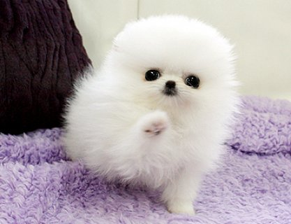 Two Cute male and female Pomeranians
