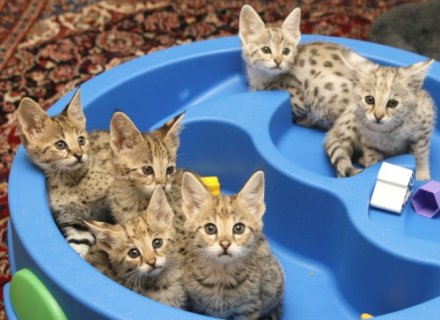صور HEALTHY F1 to F5 SAVANNAH KITTENS AVAILABLE 1