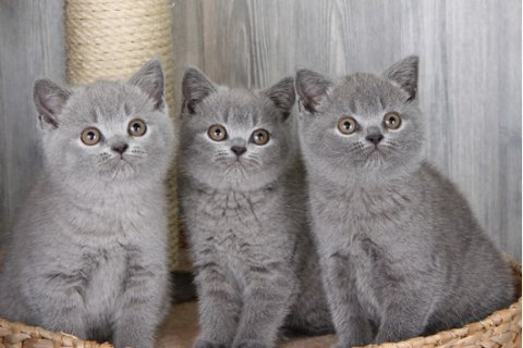 British short hauir kittens available for Adoption