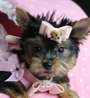 Cute Yorkie puppies for Free Adoption Puppies For Adoption