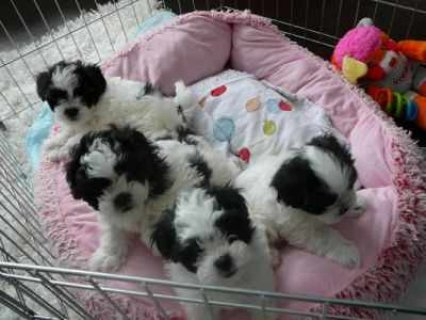 صور Teacup Shih Tzu Puppies For Adoption 1