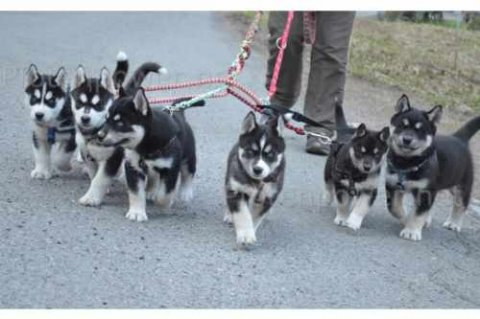 صور Male and Female Siberian Husky Puppies ready for adoption 1