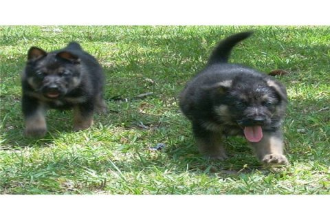 Two German shepherd puppies for adoption2