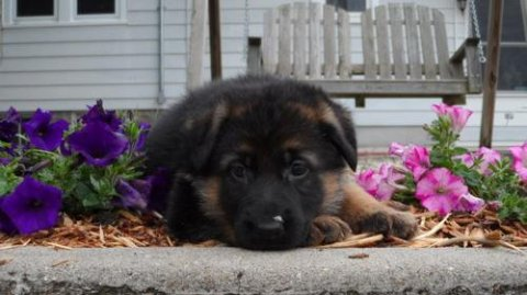 2 German Shepherd puppies for Rehoming23