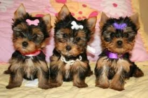 Gorgeous Yorkshire Terrier Pupps