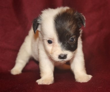 Charming Jack Russel Terrier Puppies for re homing .