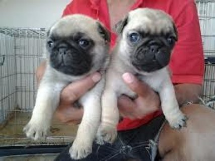 صور Male and female  Pug Puppies For Adoption 1