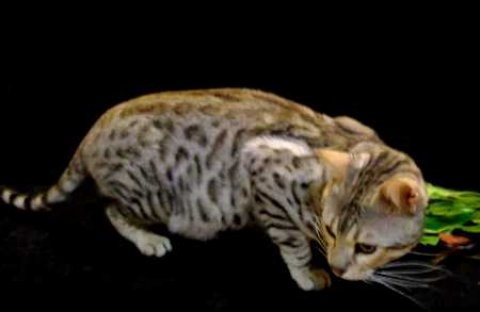 صور Bengal Cats and kittens available 1