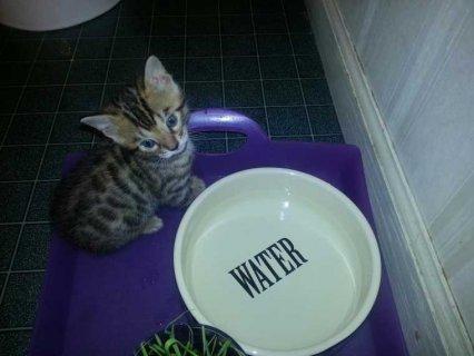 Beautiful Litter 0f 6 Bengal Kittens.