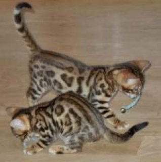 Bengal kittens for sale. Two males, One female. Incredibly cute,