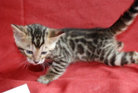 TICA Registered Bengal kittens with amazing temperaments