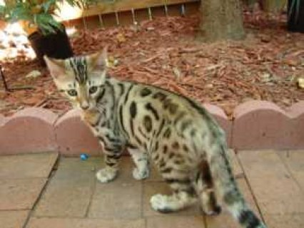 2 Beautiful Bengal Kittens