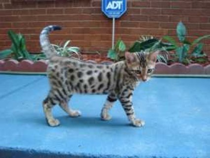 صور Two male Asian Leopard Bengal kittens. Ready to be weaned from t 1