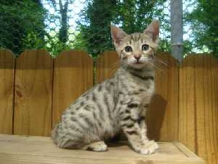 This 12 week old male bengal is awsome