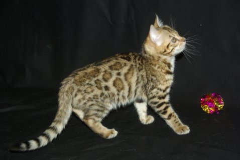 صور This beautiful and very sweet Bengal cat needs to be re-homed. 1