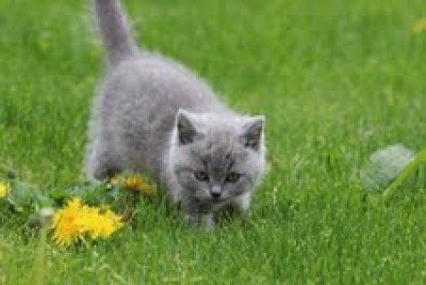 Male and Female British Short Hair Kitten For Adoption