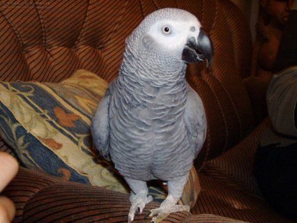 I have cute and adorable African Grey parrots ready to met new f