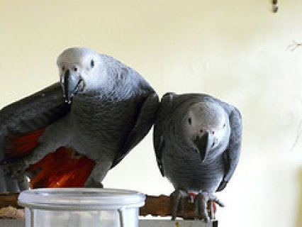 African Grey Parrots for Sale with Cages