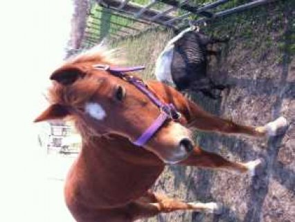 Star is a geat trail horse. She is about 15 hh tall and 12 years