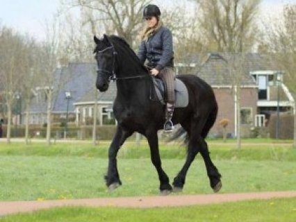 Frisian Horse Beautiful Friesian Gelding horse for adoption