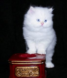 Male and Female Tiny Teacup Persian Kittens.
