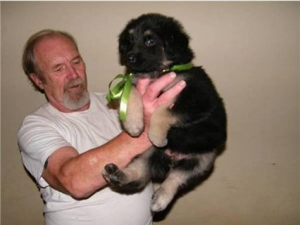 Quality AKC German Shepherd puppies