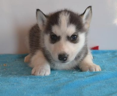 Pure Breed Siberian Huskies Puppies ready for adoption*Fully Vac