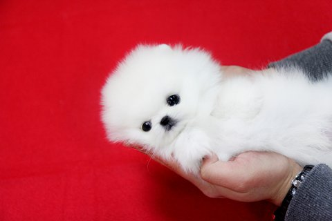 Adorable Male and female Tiny Teacup Pomeranian Puppies for good