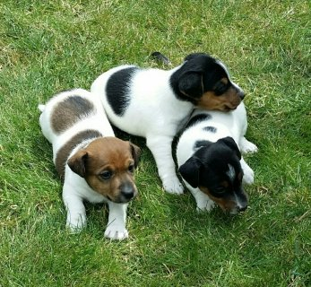 Male And Female Jack Russel Puppies Available