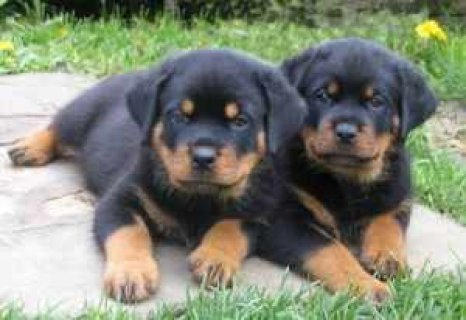 Sweet and lovely Rottweiler puppies