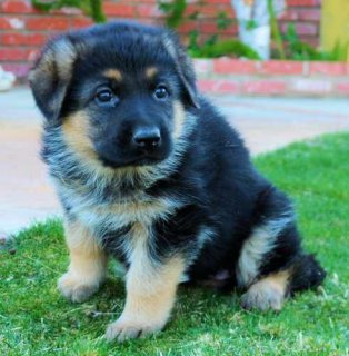 Healthy and stunning purebred German shepherd puppies