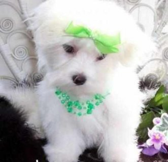 MALTESE PUPPIES FOR GOOD HOME