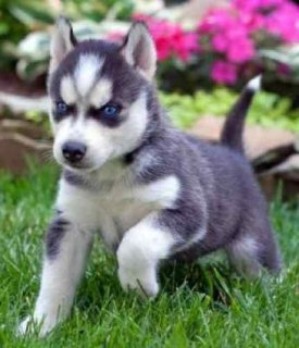 Home Raised Siberian Husky Puppies for new homes