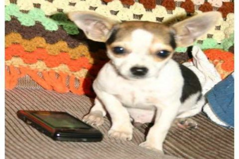 Health certificate Male and Female chichuachua Puppies For new h