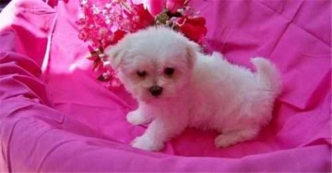 Playful male and female tiny teacup Maltese puppies for adoption