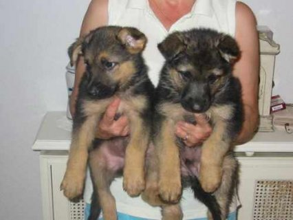 CUTE AND LOVELY GERMAN SHEPHERD PUPPIES FOR ADOPTION
