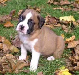 Excellent adorable male and female Boxer puppies ready for rehom