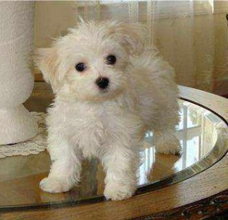 Adorable and very cuddly maltese puppies are