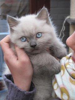 Siberian Kittens, Absolutely Gorgeous Kittens